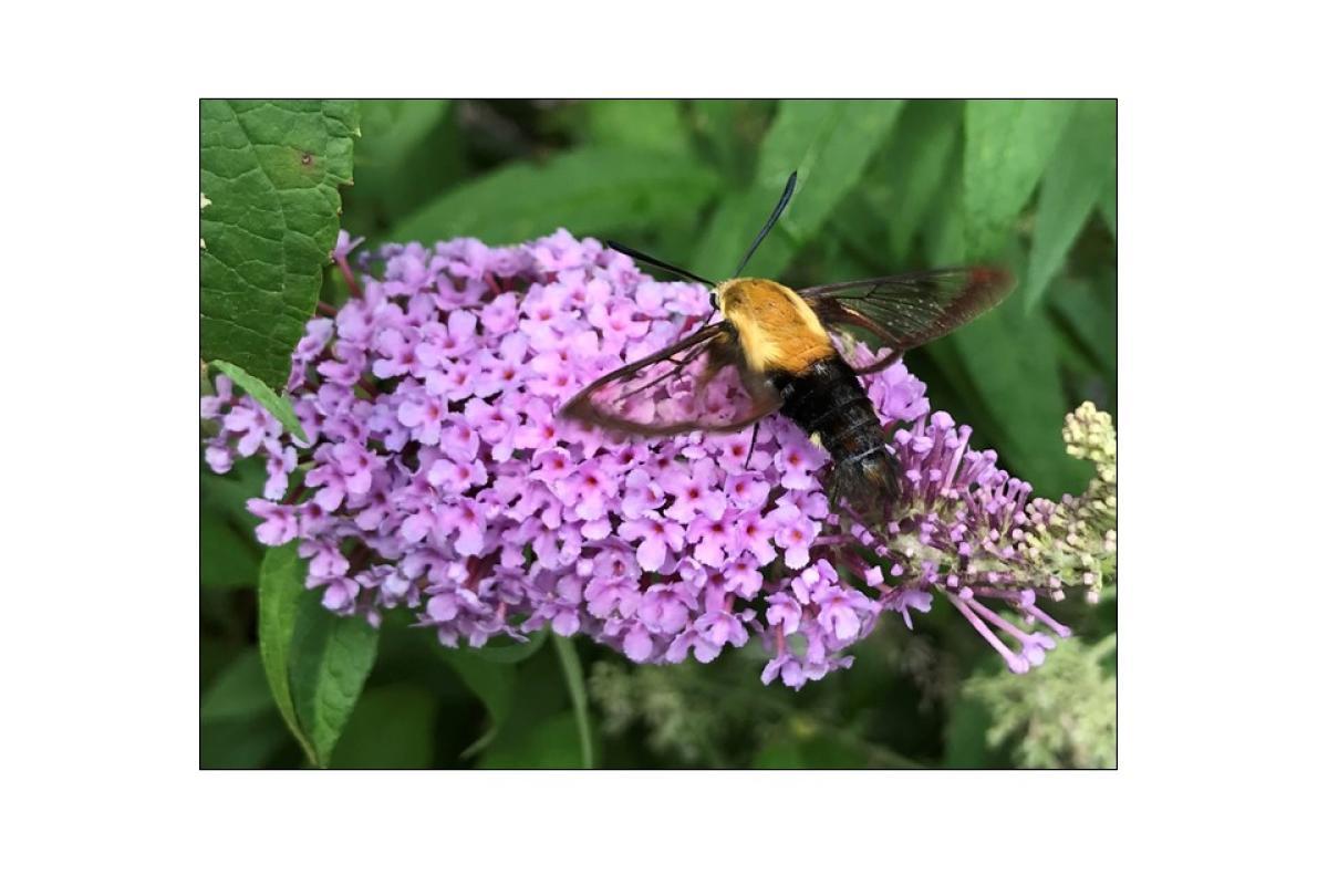 """Hummingbird Moth"" by Patrick Barber"""
