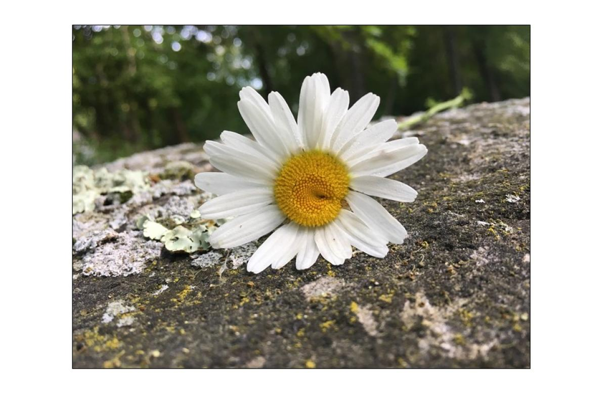 """""""I'm Lichen This Daisy"""" by Charlotte Ayers"""